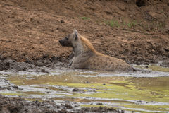 Chilling Hyena. A Hyena trying too cool off in some nice green mud Royalty Free Stock Photography