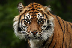 Chilling Look. Beautiful Sumatran Tiger against a natural background Stock Photography