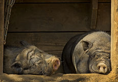 Chilling pigs Stock Images
