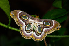 Chilling. Portrait of night tropical moth. Macro photography of wildlife Royalty Free Stock Photos