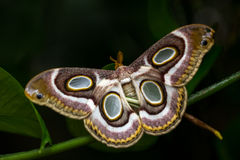 Chilling. Portrait of night tropical moth. Macro photography of wildlife Royalty Free Stock Photography