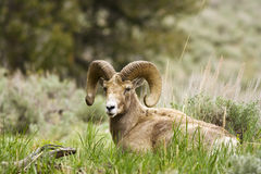 Chilling Ram Stock Photo