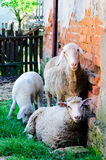 Chilling sheeps Royalty Free Stock Photo