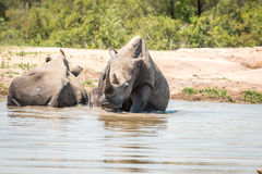 Chilling White rhino in the Kruger National Park, South Africa. Royalty Free Stock Photo