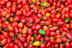 Chillis redondos rojos Fotografía de archivo libre de regalías