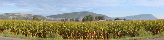 Chilliwack Corn Field Stock Photography
