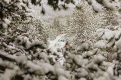 Beautiful Calm and Peaceful Frozen Cold Winter Season Snow in Breckenridge Colorado Landscape Scene of Fir Pine Trees in Outdoor N. Chilly Fresh Mountain Air in royalty free stock photo