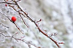 Chilly morning on the thorns of the red arrow royalty free stock photography