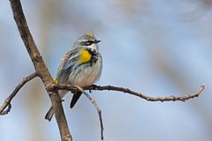 Yellow-rumped warbler on a branch. On a chilly morning, a yellow-rumped warbler fluffs its feathers to create a warm blanket for itself. A light blue sky and tan royalty free stock photo