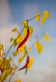 Chilly peppers. Fruit of chily peppers against bright blue sky with leaves Royalty Free Stock Images