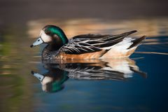 Chiloé Wigeon Duck Swimming In Peaceful Pond Stock Photo