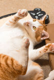 Chilo at cat cafe Royalty Free Stock Photos