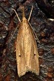 Chilo phragmitella micro moth from above Royalty Free Stock Image