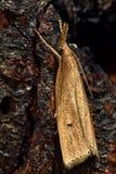 Chilo phragmitella micro moth Royalty Free Stock Photography
