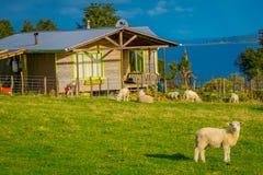 CHILOE, CHILE - SEPTEMBER, 27, 2018: Ansicht im Freien von den schönen Schafen, die in der Wiese mit einem Holzhaus weiden lassen stockfotografie