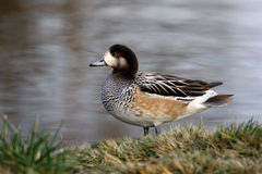 Chiloe wigeon, Anas sibilatrix Stock Images