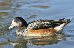 Chiloe Wigeon Royalty Free Stock Images