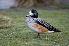 Chiloe wigeon, Anas sibilatrix Royalty Free Stock Photo