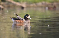 Chiloe Wigeon - Anas sibilatrix Royalty Free Stock Photos