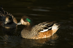 Chiloe Wigeon close-up Stock Photography