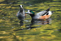 Chiloe wigeon Stock Photography