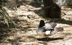 Chiloe Wigeon Resting. Chiloe wigeon drake resting in a defensive position Stock Photography
