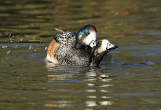 Chiloe Wigeon mating Stock Photos