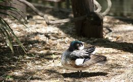 Chiloe Wigeon Resting. Chiloe wigeon drake resting in a defensive position Stock Image