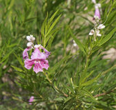 Chilopsis linearis blossom Stock Photography