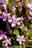 chiltern植物 免版税图库摄影