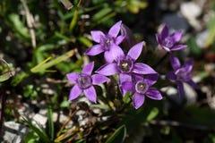 Chiltern gentian (Gentianella germanica) Stock Photos
