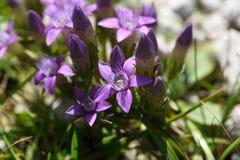 Chiltern gentian (Gentianella germanica) Stock Image
