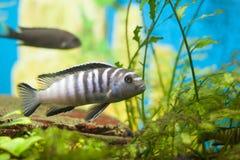 Chilumba-Zebrafische Lizenzfreies Stockfoto