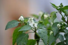 Chily pieprzy kwiat rośliny Zdjęcie Stock