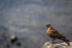 Chimango Caracara, νησί Πάσχας, Χιλή Στοκ φωτογραφίες με δικαίωμα ελεύθερης χρήσης