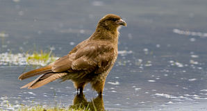 Chimango Caracara Stock Photos