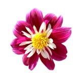Chimborazo dahlia, august flower Royalty Free Stock Image