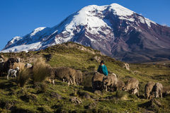 Free Chimborazo Volcano And Sheep Stock Image - 56321141