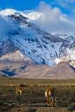 Chimborazo volcano in andean Ecuador Royalty Free Stock Image