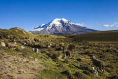 Chimborazo volcano and sheep. On the moor, Andes, Ecuador Royalty Free Stock Image