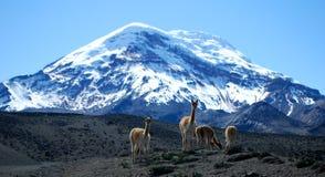 Chimborazo vulkan arkivbilder