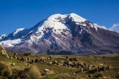 Chimborazovulkaan en schapen Stock Foto's