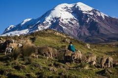 Chimborazovulkaan en schapen Stock Afbeelding