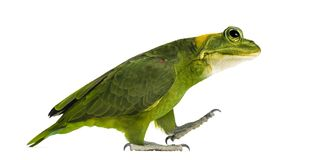 Chimera with Yellow-naped parrot with head of frog. Walking against white background Royalty Free Stock Images