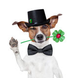 Chimney sweeper dog. Good luck chimney sweeper dog with hat and clover Royalty Free Stock Photo