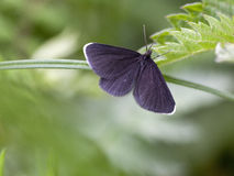 chimney sweeper moth Royalty Free Stock Image