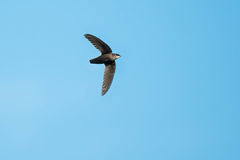 Chimney Swift. Flying across a clear blue sky Royalty Free Stock Photography