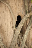 Chimney Tree. At Pitsanulok City,Thailand Stock Photos