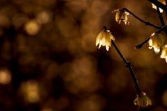 Chimonanthus praecox. In the winter Stock Photo
