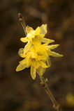 Chimonanthus Praecox Royalty-vrije Stock Foto